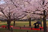 万博記念公園の桜 春雨