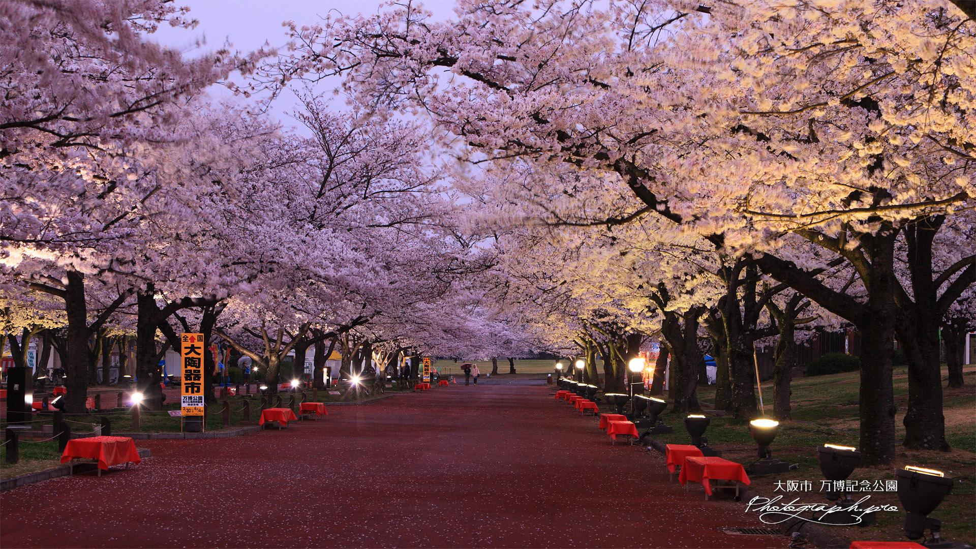 万博記念公園の桜 東大路桜並木 の壁紙 19x1080