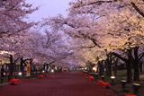 万博記念公園の桜 東大路桜並木