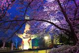 万博記念公園の桜 何だ、これは