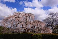 高原寺のしだれ桜