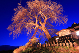 高橋の枝垂桜