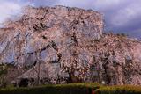 高原寺の枝垂れ桜