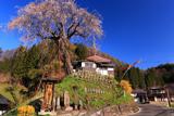 高橋の枝垂れ桜