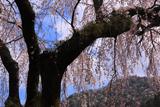 善福寺のしだれ桜