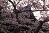 有馬温泉の桜 温泉寺