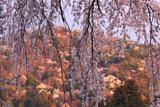 善福寺のイトザクラ