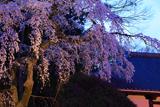善福寺の枝垂桜