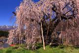 袖之山の柳桜