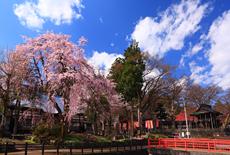 千手院のしだれ桜