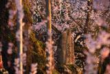 泰雲寺の枝垂桜