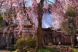 千手院の枝垂桜