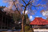 浦佐毘沙門堂の桜