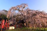 泰雲寺の桜