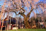 泰雲寺のしだれ桜