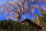 栗山沢の枝垂れ桜