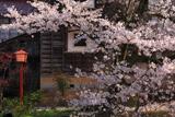 湯村温泉の桜