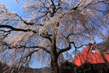 西方寺の枝垂れ桜