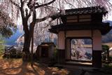 西方寺の枝垂桜
