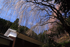 円通寺のイトザクラ