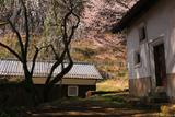円通寺の糸桜