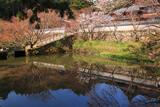 丹波市 円通寺放生池畔の桜