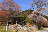 丹波市 円通寺の山桜