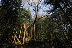 稲荷古墳のヤマザクラ
