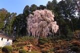 井岡寺のシダレザクラ