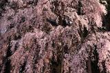 井岡寺のしだれ桜