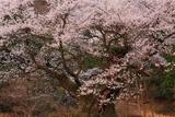 ほそき神社の麻蒔桜
