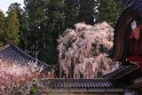 井岡寺の枝垂桜