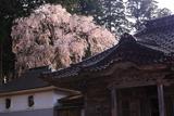 井岡寺の枝垂れ桜