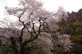 㯮椒神社の麻蒔桜