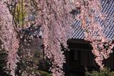 井岡寺枝垂れ桜