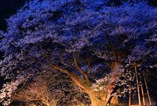 ほそき神社のおまき桜