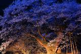 㯮椒神社のおまき桜