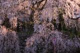 吉田の枝垂桜