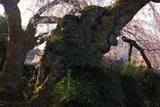 吉田の枝垂れ桜