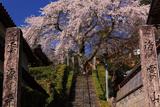 雲源寺の枝垂れ桜