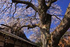 雲源寺のシダレザクラ