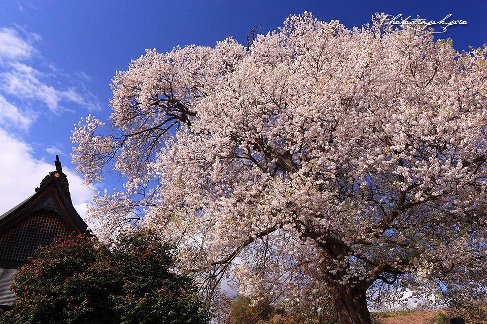 西光寺のサクラ 山形県 桜紀行 PHOTOGRAPH.PRO スマホでも閲覧できるようになりまし