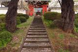 西光寺のソメイヨシノ