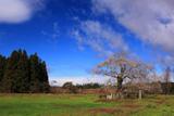 袋川原前の種まき桜