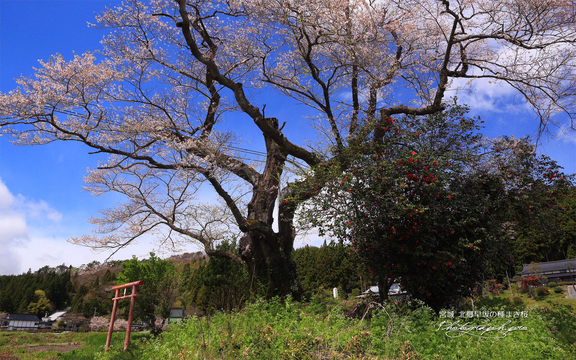 北郷早坂の種まき桜
