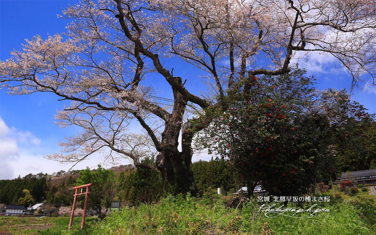 北郷早坂の種まき桜 壁紙