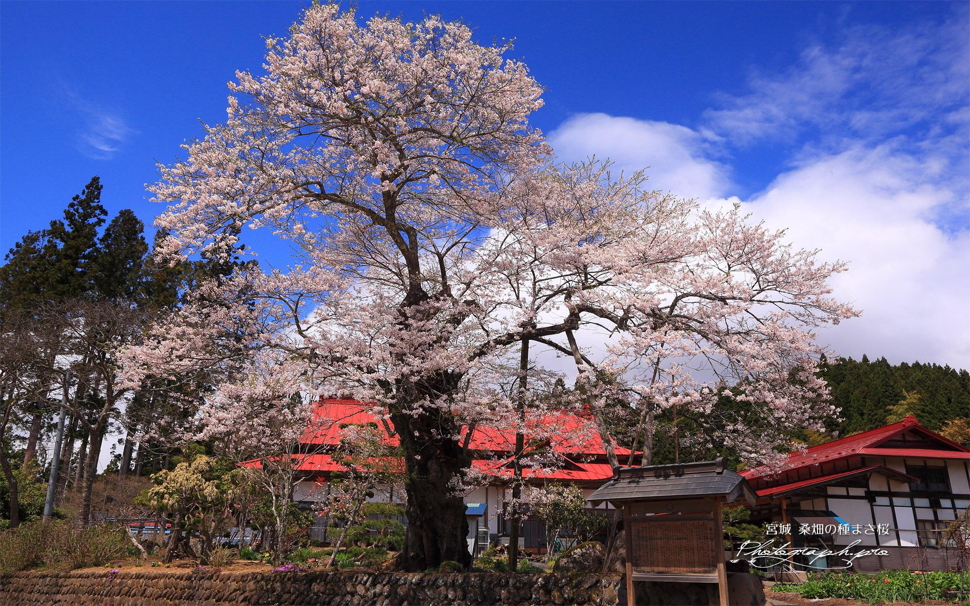 桑畑の種まき桜