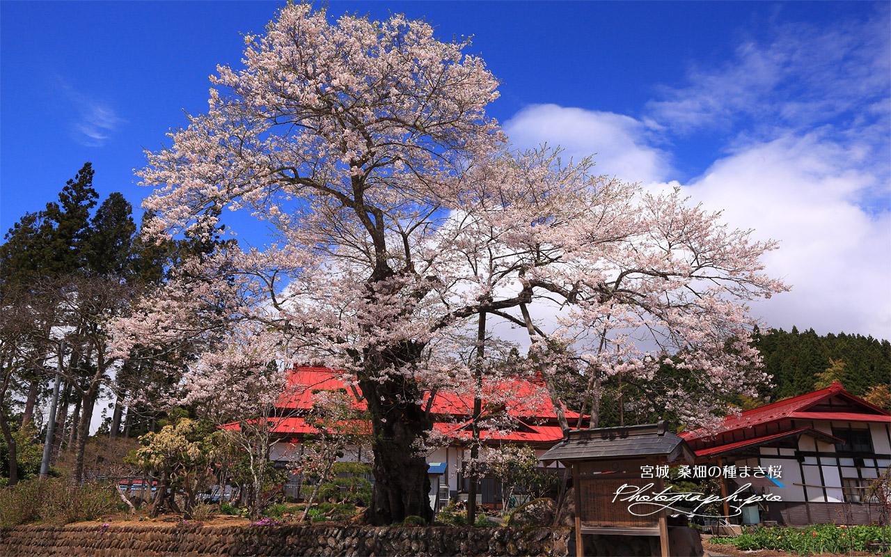 桑畑の種まき桜 壁紙