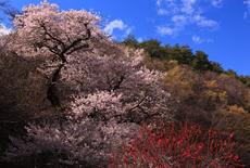 小峠の万年桜