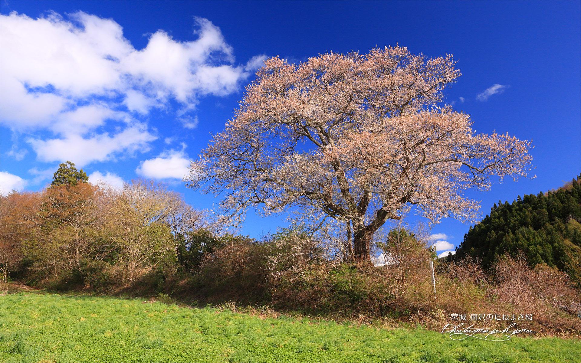 南沢のたねまき桜